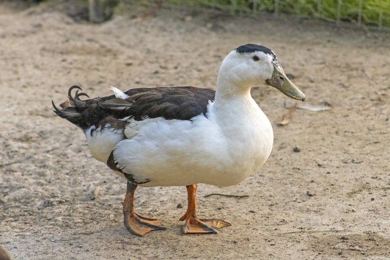 12 Black and White Duck Breeds