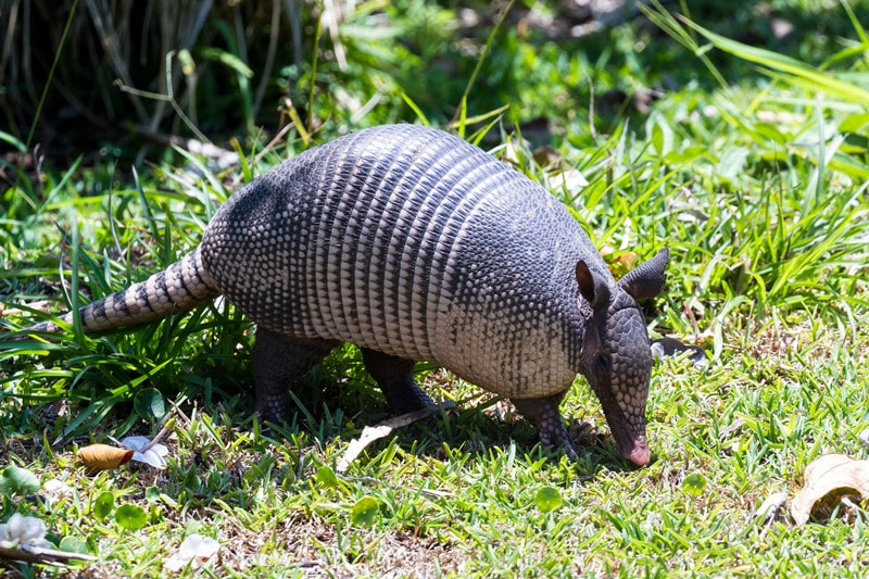 How Do You Trap An Armadillo