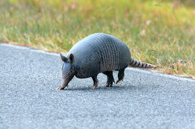 How to Get Armadillos Out of House