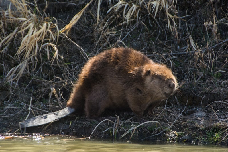 How to Get Beavers Out