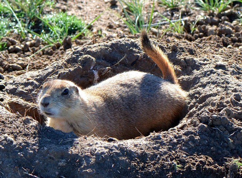 How to Get Groundhogs Out of House