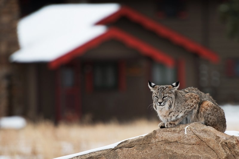 How to Get Rid Of Bobcats in House