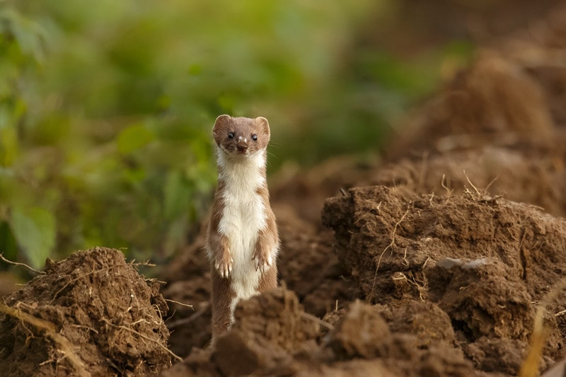How to Get Rid Of Weasels in House