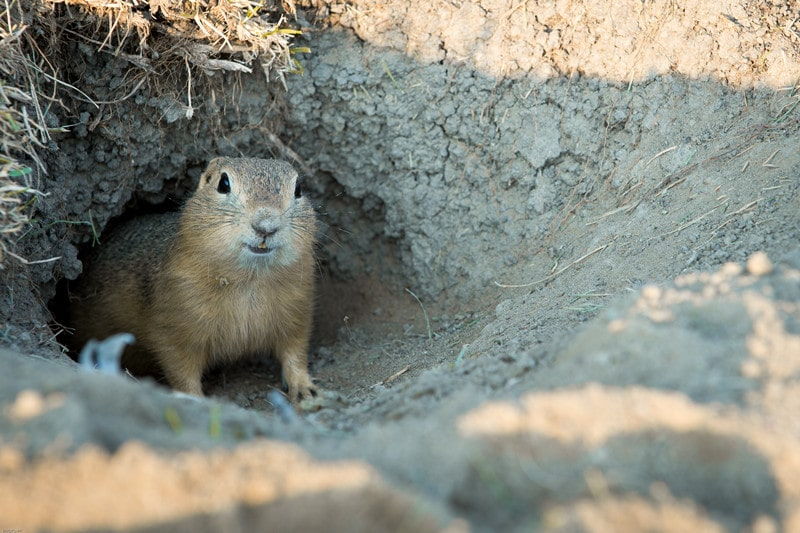 How to Get Rid of Gophers in House