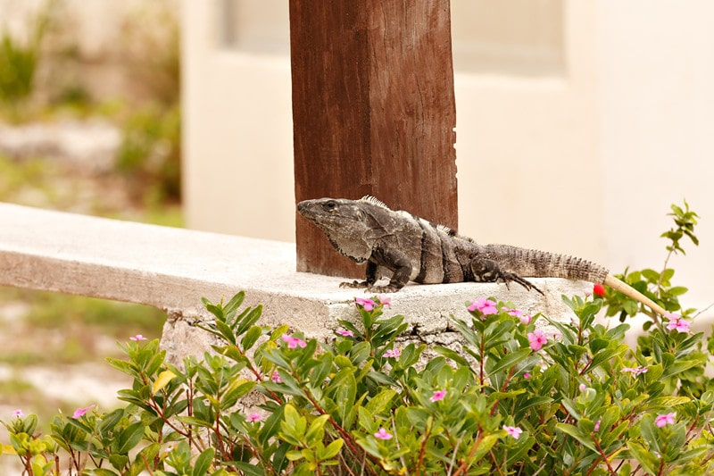 How to Get Rid of Iguanas in House