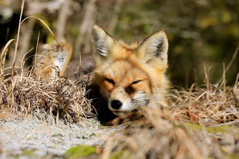 How to Get Rid of a Fox