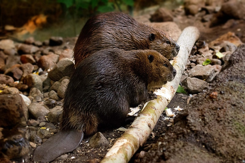 How to Keep Beavers Away