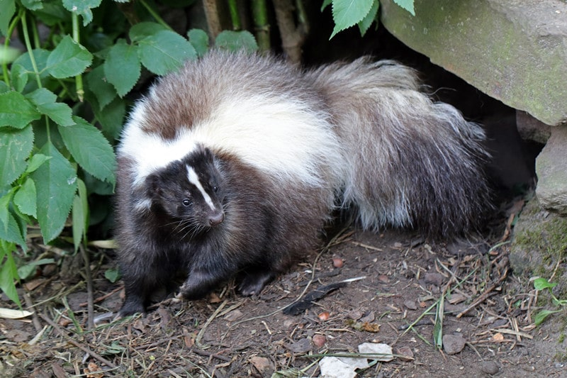 How to Keep Skunks Away from House