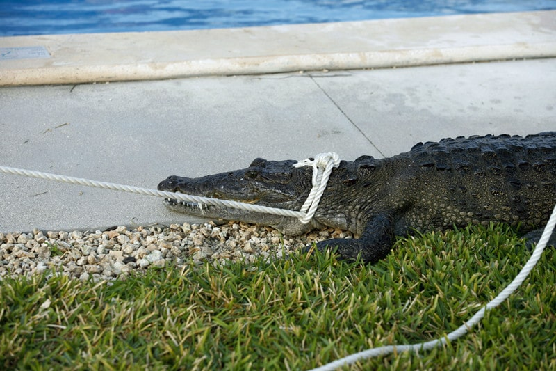 How to Trap An Alligator