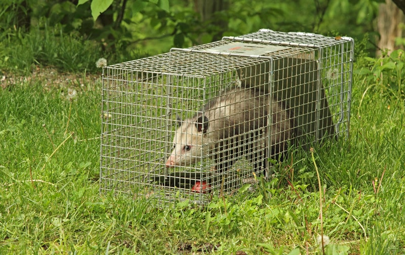 How to Trap Opossums