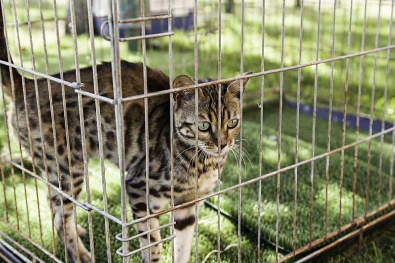 How to Trap a Bobcat in House