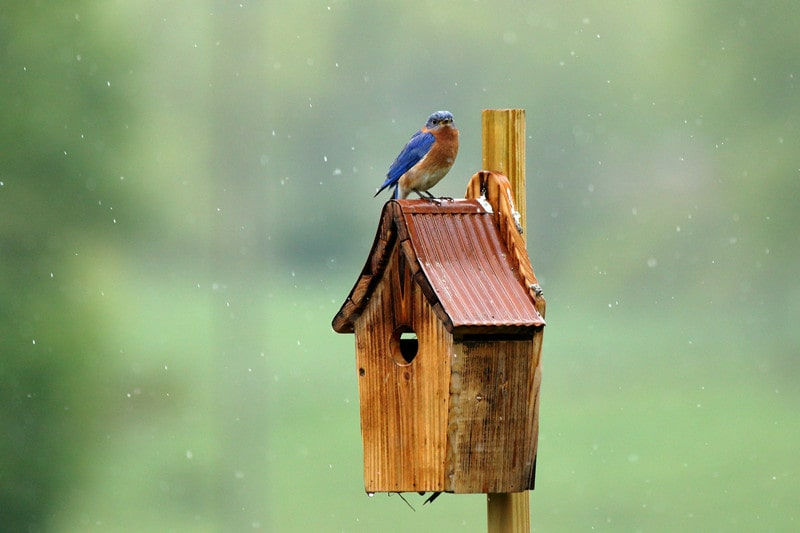 What to Know About Backyard Bluebird Houses