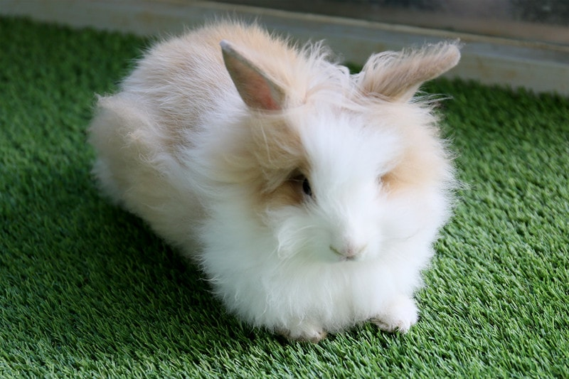 Angora Rabbits as Pets: Everything You Need to Know About This Breed