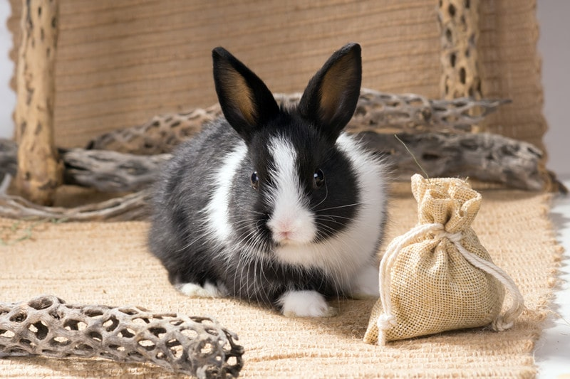 Dutch Rabbits as Pets-Everything You Need to Know
