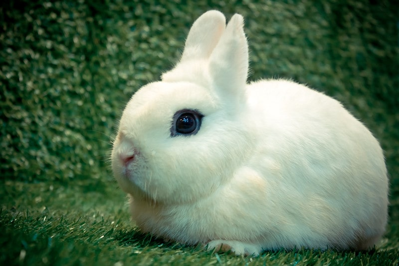 Dwarf Hotot Rabbits as Pets-All You Need to Know