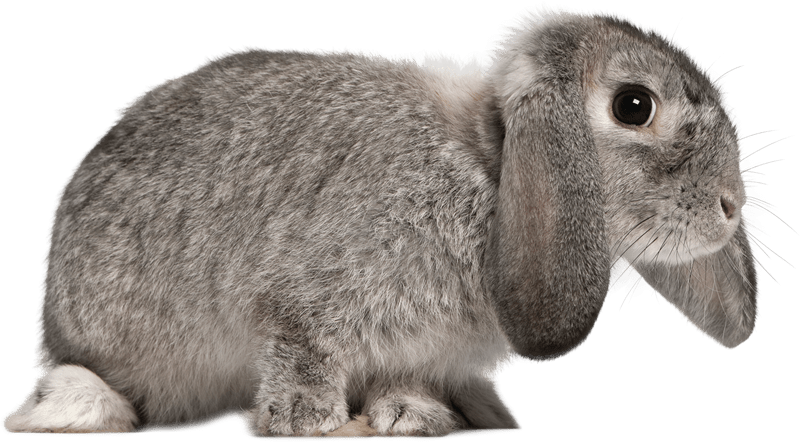 French Lop Rabbits as Pets-Everything You Need to Know