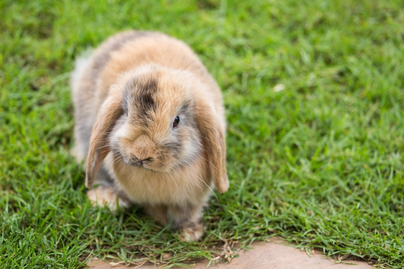 Holland Lop Rabbits as Pets-Everything You Need to Know