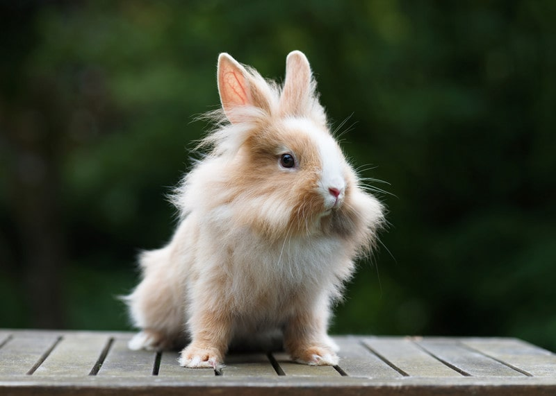 Lionhead Rabbits as Pets-All You Need to Know