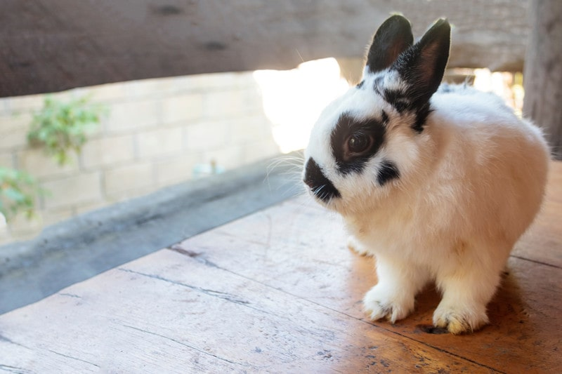 Netherland Dwarf Rabbits as Pets-Everything You Need to Know