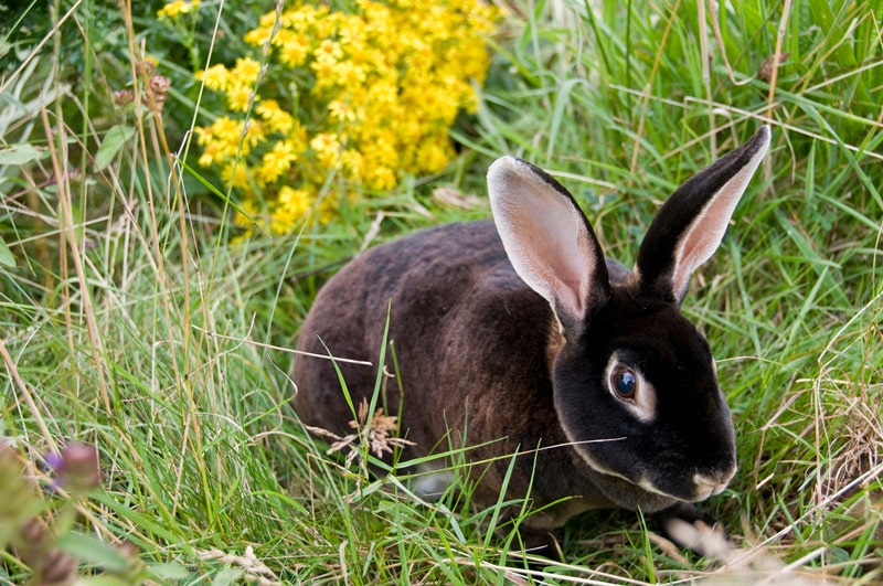 Rex Rabbits – All You Need to Know for This Breed