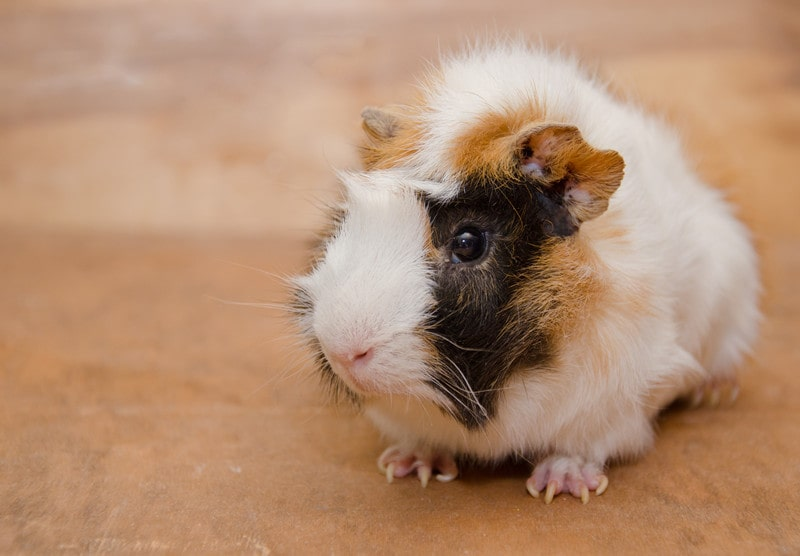Abyssinian Guinea Pigs as Pet-Everything You Need to Know