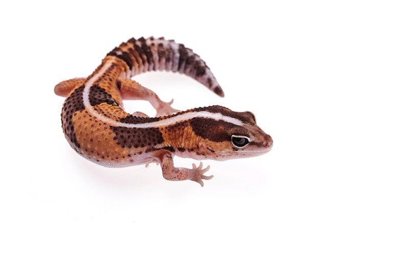 African Fat-Tailed Geckos as Pets-Everything You Need to Know