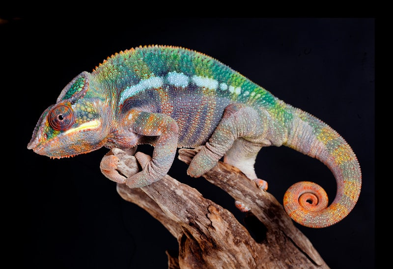 All You Need to Know About Panther Chameleons as Pets