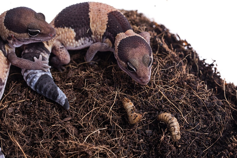 Can You House African Fat Tailed Geckos Together