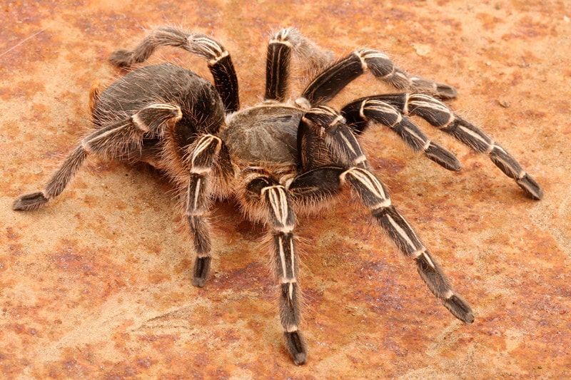 Chaco Golden Knee Tarantulas as Pets-Everything You Need to Know