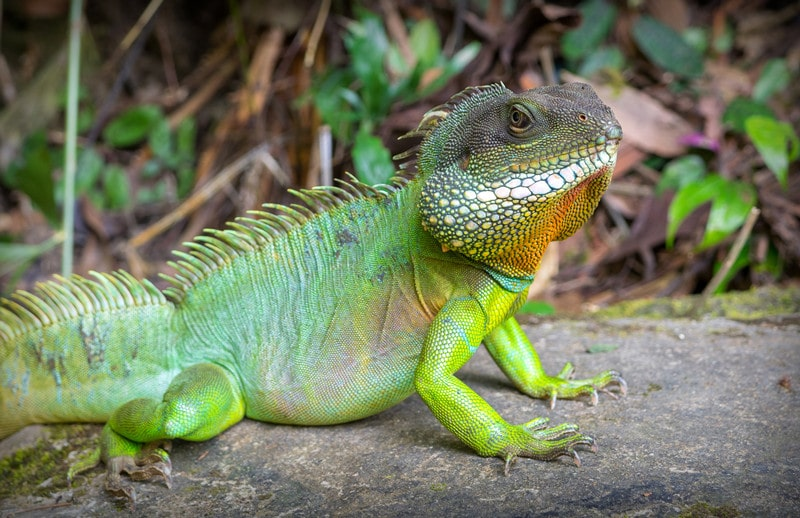 Chinese Water Dragons as Pets-Everything You Need to Know