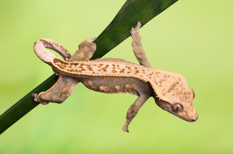 Crested Geckos as Pets-Everything You Need to Know