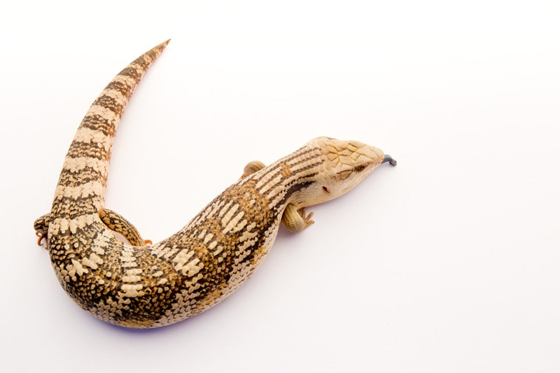 Eastern Blue-Tongued Lizards as Pets-Everything You Need to Know