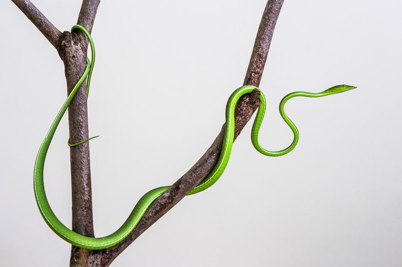 Everything You Need to Know About Asian Vine Snakes as Pets