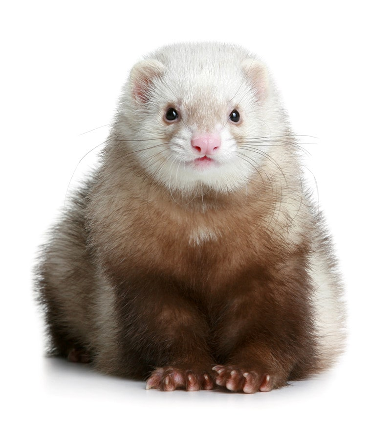 Everything You Need to Know About Keeping Angora Ferrets as Pets