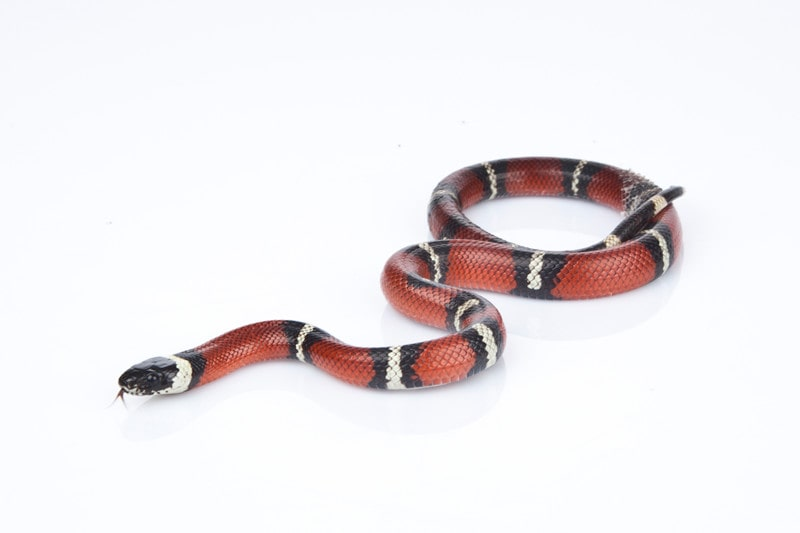 Everything You Need to Know About Milk Snakes as Pets