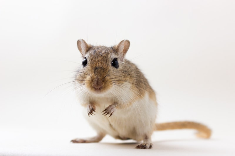 Gerbils as Pets-Everything You Need to Know