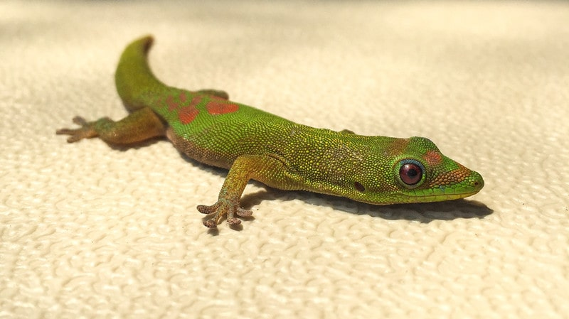 Gold Dust Day Geckos as Pets-Everything You Need to Know