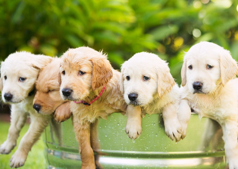 Golden Retriever Growth Chart-More Detials You Should Know