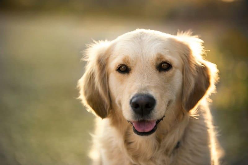 Golden Retriever Lifespan:How Long Do Golden Retrievers Live