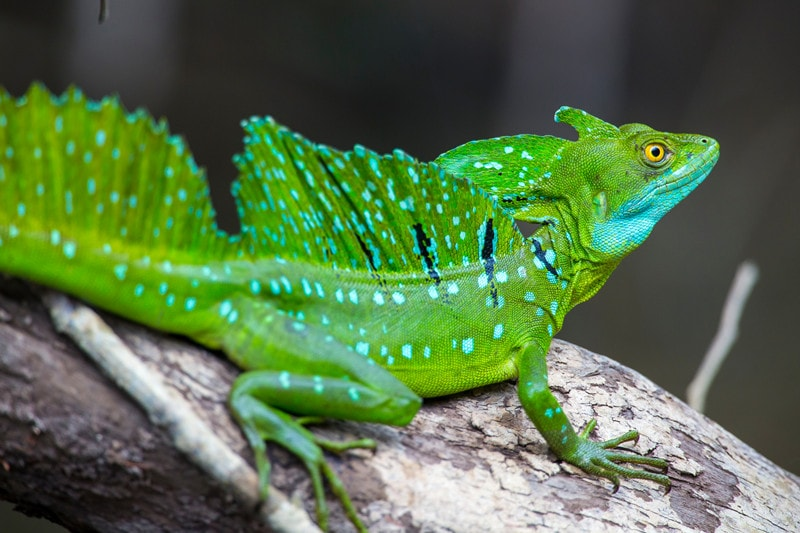 Green Basilisks as Pets-Everything You Need to Know
