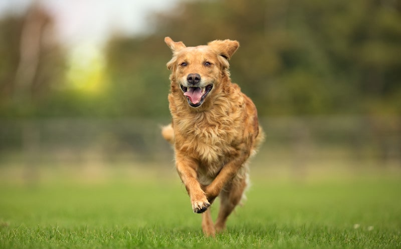 Is It OK to Run With a Golden Retriever