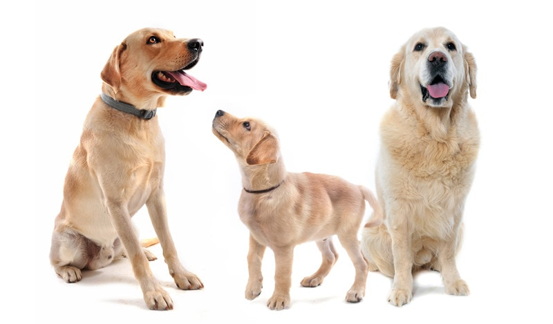 Labrador Retriever Vs. Golden Retriever: What You Should Know
