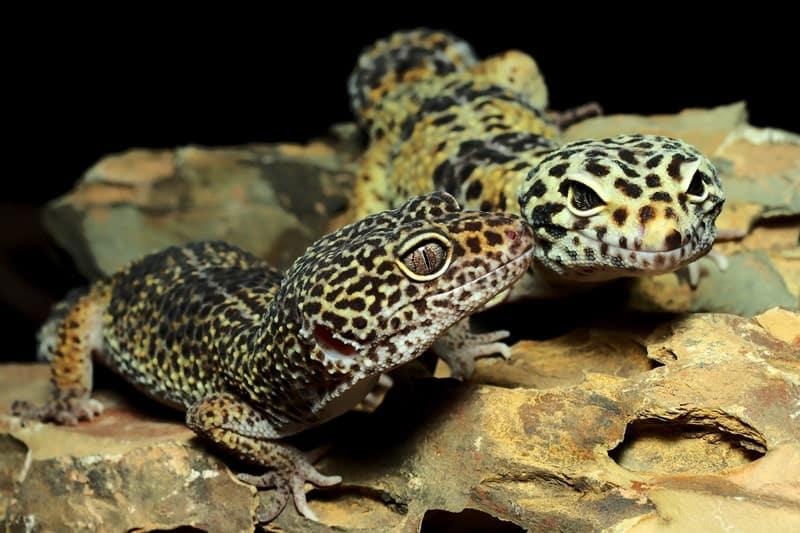 Do Leopard Geckos Do Better In Pairs