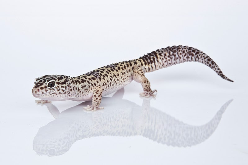 Leopard Geckos as Pets-Everything You Need to Know