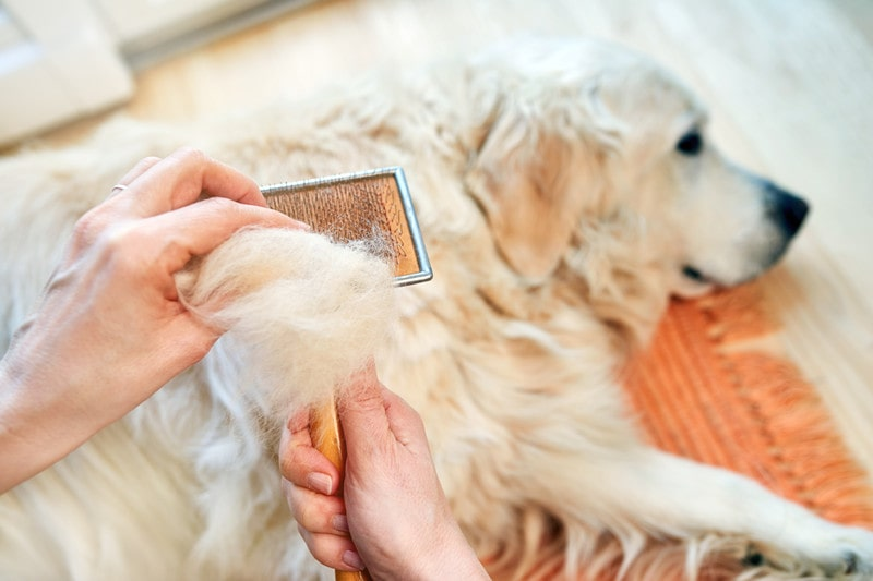 Managing Golden Retriever Shedding-What You Should Know