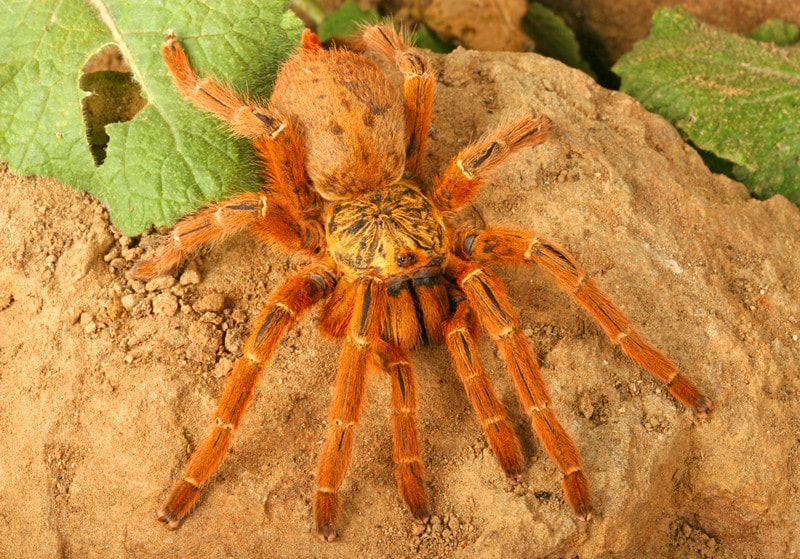 Orange Baboon Tarantulas as Pets-Everything You Need to Know