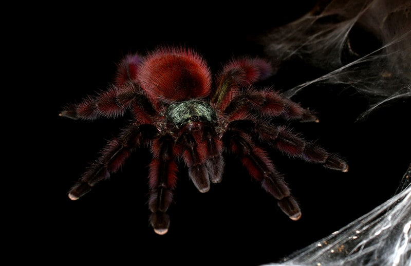 Pink Toe Tarantulas as Pets-Everything You Need to Know