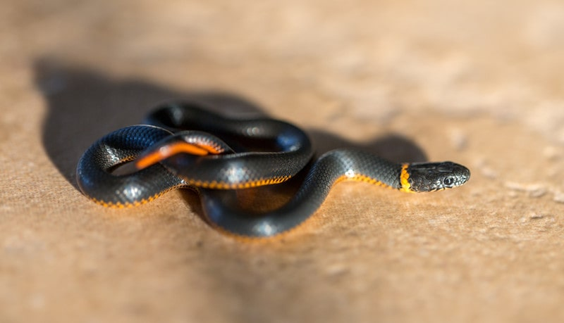 Ringneck Snakes as Pets-Everything You Need to Know