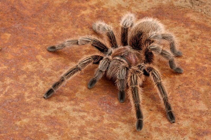 Rose Hair Tarantulas as Pet-Everything You Need to Know