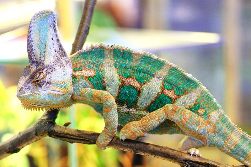 Veiled Chameleons As Pets Lifespan Colors And Care Info Family Life Share